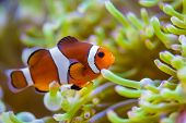 Clown fish in coral reef