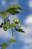 Bunch of hops on a sky background. Sunny day weather
