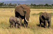 Elephant herd in masai mara