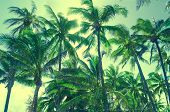 Coconut Palm Trees In Hawaii (vintage Style)