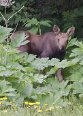 Moose Calf In Pushki