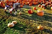 Field of ripe pumpkins with old tractor