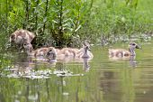image of baby goose  - Baby Egyptian goose go for a swim on their own in dangerous wild water - JPG