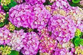 Pink hydrangea flowers as a background.
