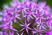 Blooming Ornamental Onion (allium)