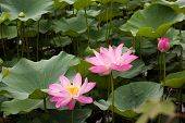Sacred Lotus, Nelumbo Nucifera, In Beihai Park, Beijing
