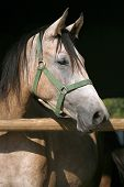 Portrait of a thoroughbred arabian horse