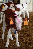 calves farm