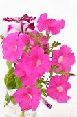 Pink Petunia Flowers In Glass Vase