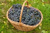 foto of merlot  - Merlot Grapes in basket on autumn grass top view - JPG