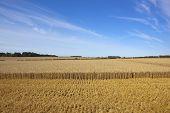 Wheat Harvest Landscape