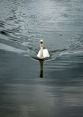 Постер, плакат: Mute Swan Towards Camera