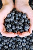 Female hands holding tasty ripe blueberries, close up