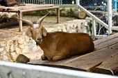 foto of billy goat  - Goat in zoo Thailand - JPG
