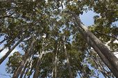 Eucalyptus trees in New South Wales Australia