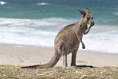 stock photo of kangaroo  - Red Kangaroo on the beach - JPG