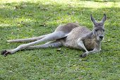Red Kangaroo lying in the grass, Queensland, Australia