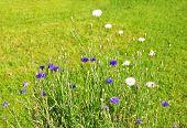 Garden Cornflowers