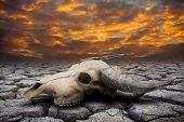 stock photo of cow skeleton  - Buffalo skull in hot and drought disaster land - JPG