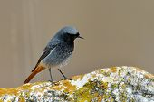 black redstart in natural habitat (phoenicurus ochruros)
