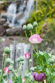 image of opiate  - Pink Opium poppy field - JPG