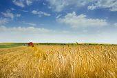 stock photo of harvest  - Landscape of fertile barley field during harvest in summer time - JPG