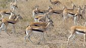 Herd Of Walking Thomson's Gazelles