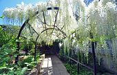 picture of arch  - wellington botanical gardens new zealand is the home of this beautiful wisteria arch established in the english garden style the garden mixes native forest with planted species - JPG