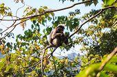 Dusky Langur sitting on tree branch