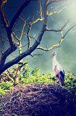 Wild Stork In Nest