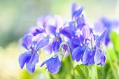 stock photo of viola  - beautiful close up Violet  - JPG