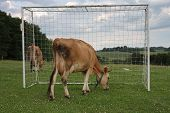 Cows Grazing On A Summer Pasture Between Football Goal