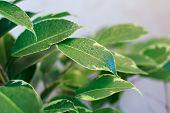 ficus tree leaves