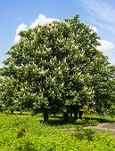 chestnut tree with white flowers and blue sky
