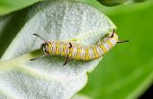 Caterpillar On A Calotropis