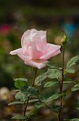 Beautiful Light Pink Rose In A Garden