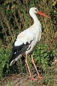 White Stork Shot In Natural Habitat
