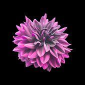 Pink Dahlia flower isolated on black.