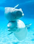 stock photo of blubber  - friendly beluga whales in an underwater viewing