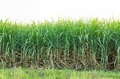 pic of ethanol  - Sugarcane plantation field in blue sky and white cloud in Thailand - JPG