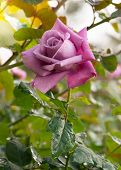 Beautiful Violet Rose In A Garden