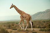 Giraffe Walking In Desert