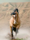 picture of wild horse running  - Bay wild horse in the desert running - JPG