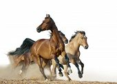 pic of wild horse running  - horses run in a wild isolated over a white - JPG