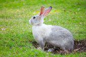 Gray Rabbit Digs A Hole On Green Grass