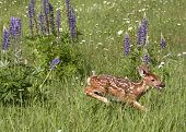 Spotted Fawn Running Through Wildflowers