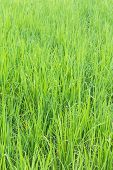 Green Rice Field Background