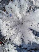 Frost On Fir Tree