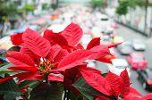 Poinsettia Overlooking Traffic