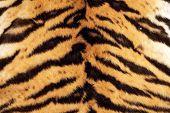 Tiger Beautiful Texture Of Real Fur